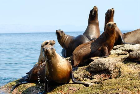 Leones marinos sobre una roca, en tierra.