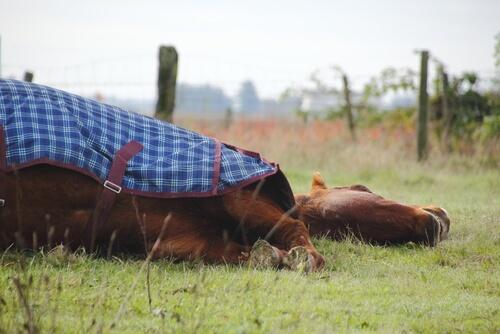 ¿Los caballos duermen de pie o tumbados?