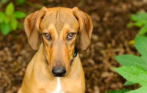 Собаки чувствуют вину?