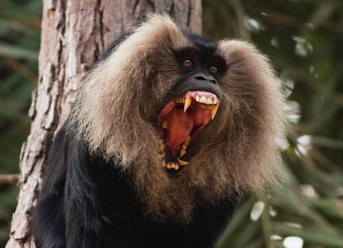 Macaco cola de león: comportamiento