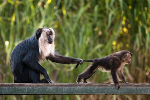 Macaco cola de león: hábitat