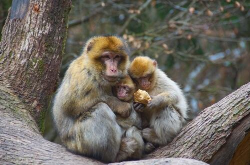 Los macacos evitan el aislamiento.