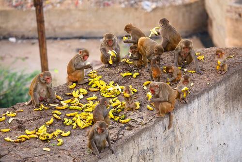 Macaco rhesus: alimentación