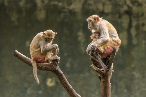 Macaco rhesus: factor Rh