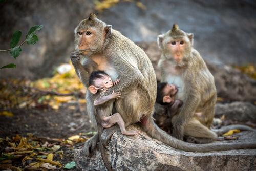 Conoce al macaco rhesus