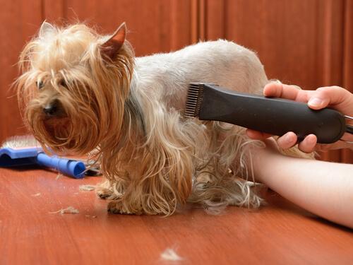Prueba la máquina cortapelo para perros