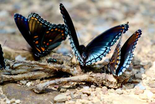 ¿Hay mariposas carnívoras?
