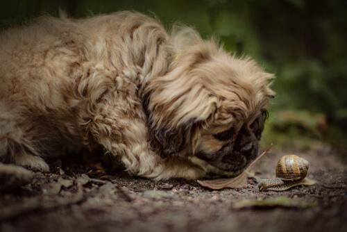 Mi perro se come los caracoles del jardín