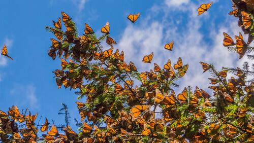 Migración de las mariposas monarcas