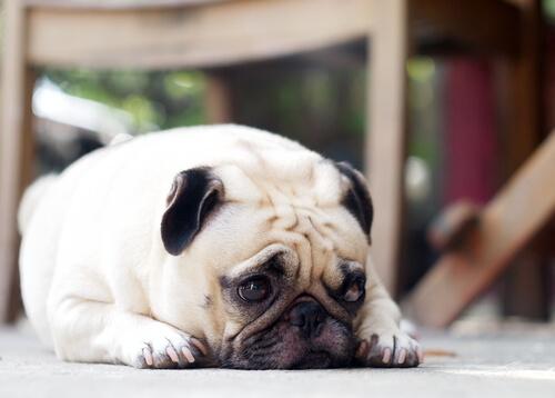 Mirada culpable de los perros