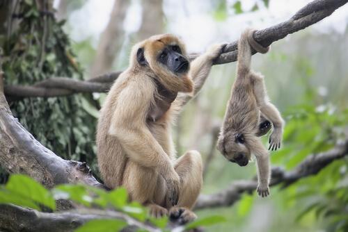 Mono que aúlla