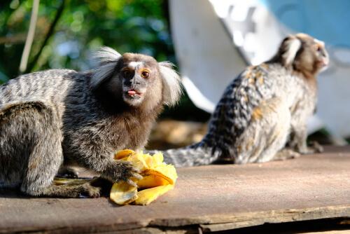 Monos tití alimentándose.