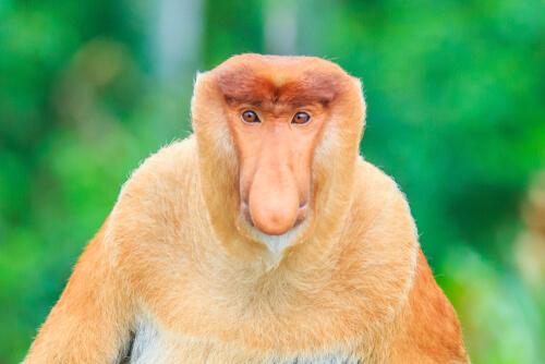 Monos narigudos, todo lo que debes saber