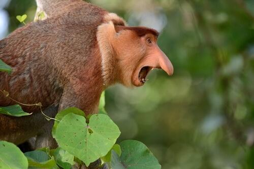 Monos narigudos: comportamiento