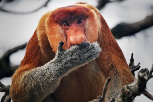 Monos narigudos: reproducción