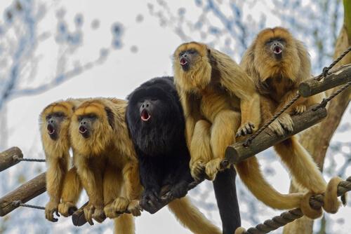 Los monos se vuelven amarillos