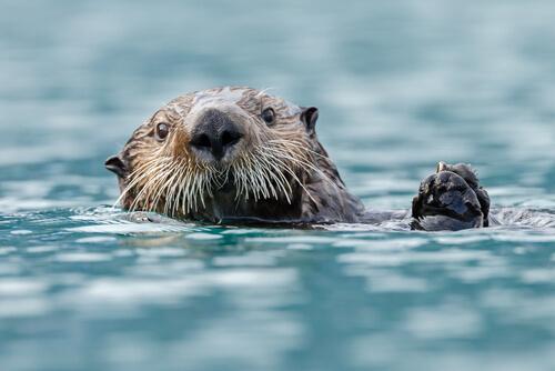 Nutria marina: características y alimentación