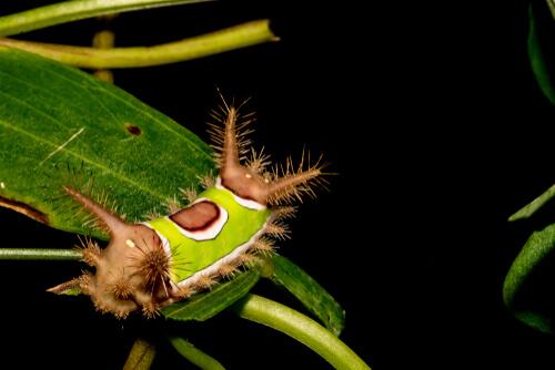 Oruga ensillada (Acharia stimulea)