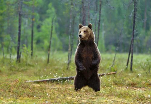 El oso pardo, características y curiosidades
