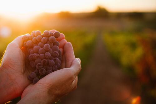 Orujo de la uva para alimentar al ganado