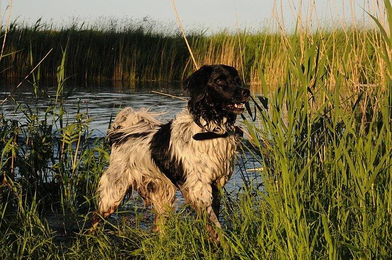 Фризская водяная собака или мокрый хаун: характеристики
