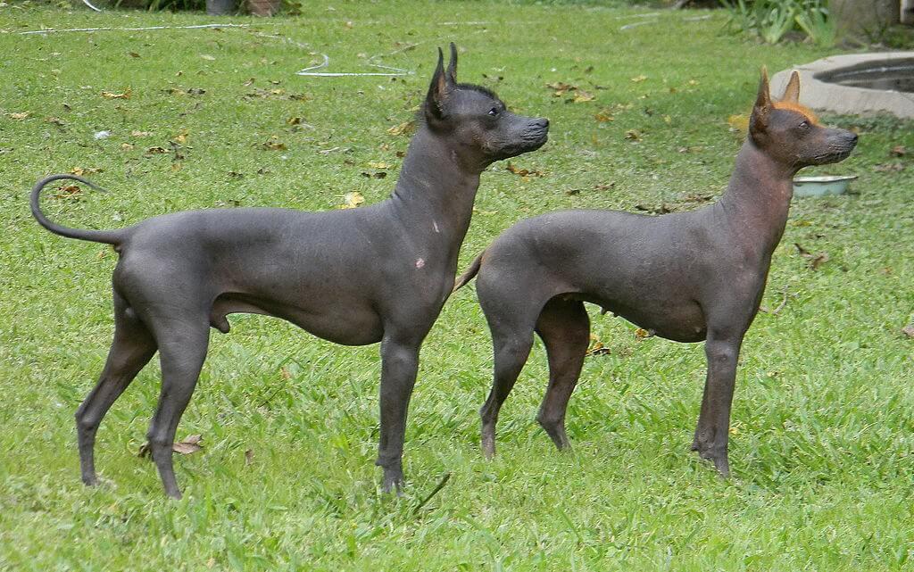 El perro pila argentino, una de las razas pequeñas sin pelo
