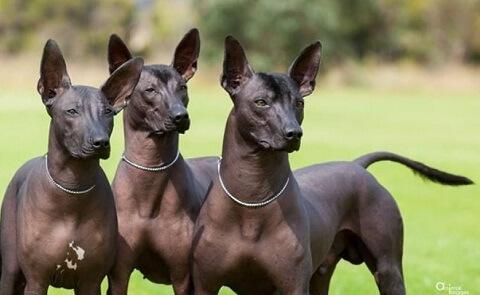Аргентинская ворсовая собака, одна из мелких голых пород