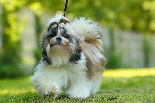 Характеристика собаки ши-тцу