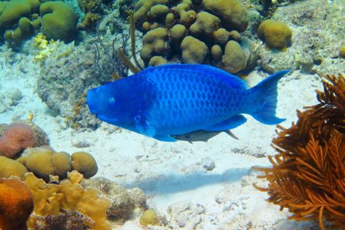 El pez loro azul, información y características