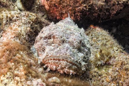 Pez piedra, el habitante casi invisible del arrecife