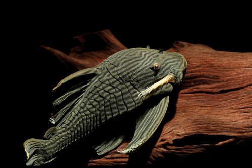 Todo lo que debes saber sobre el pez que devora madera