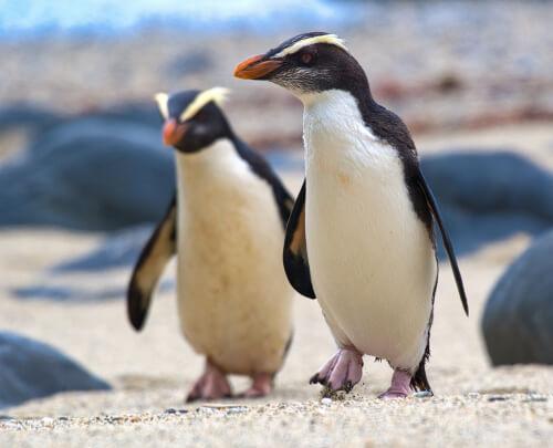 Pingüinos de Fiordland