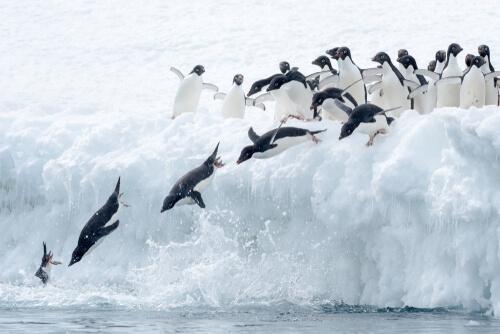 Los pingüinos de maratón