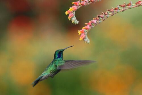 Proceso de polinización y migración del colibrí
