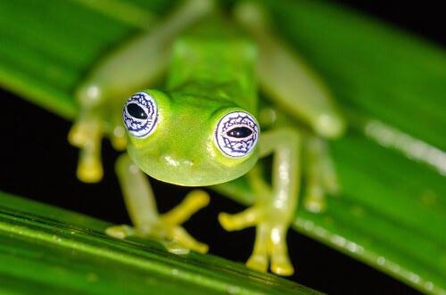 Hábitos y características de la rana de cristal