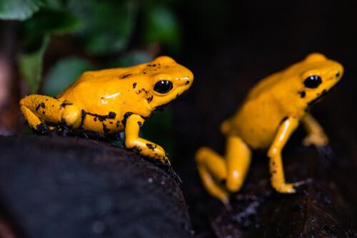 Rana de la lluvia dorada: reproducción
