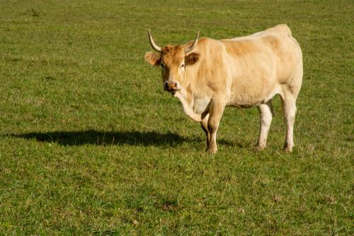 Razas autóctonas de Cataluña: vaca pirenaica