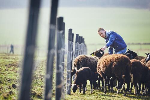 Razas autóctonas de la Comunidad Valenciana: oveja guirra