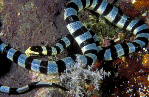 Serpiente marina, una de las más venenosas del mundo