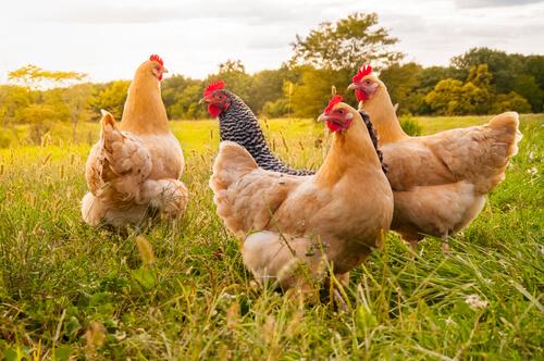 Clases y tamaños de gallinas