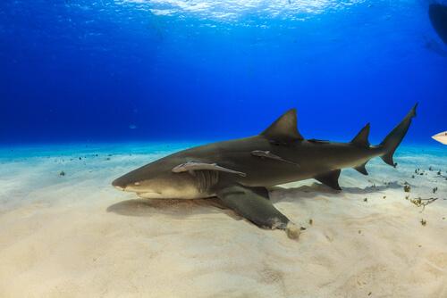 Curiosidades sobre el tiburón limón