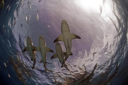 Tiburón limón: reproducción