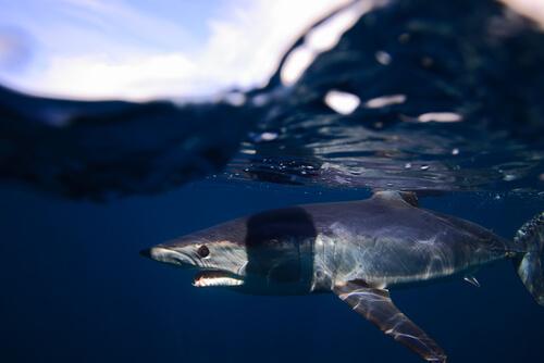 Tiburón mako: información