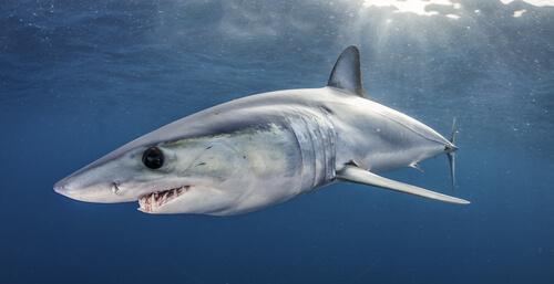 Información del tiburón mako