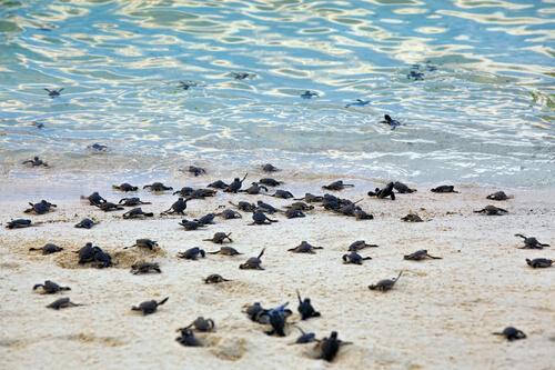 Tortuga marina: reproducción