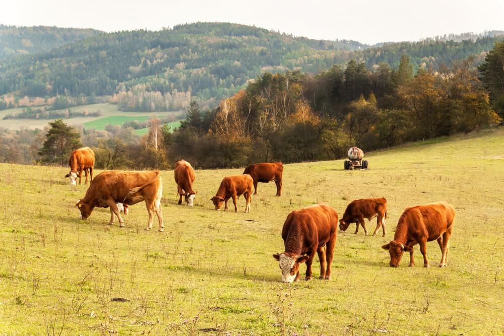 Vacas pastando en un prado.