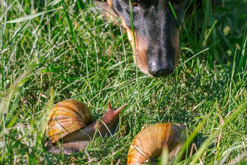 Veneno de caracoles en perros