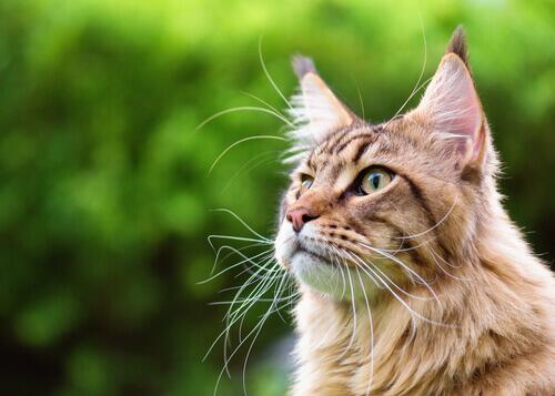 Vibrisas de los gatos