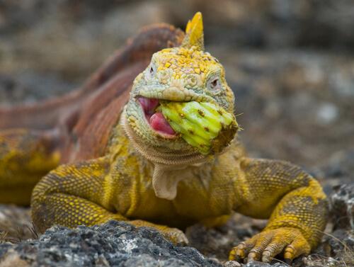 Vitaminas y calcio en las iguanas