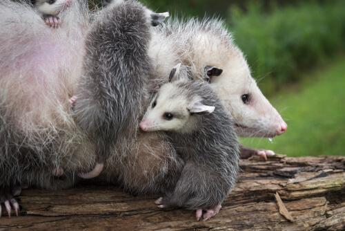 Zarigüeya: reproducción